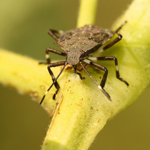 Stink bugs (Halyomorpha halys) are invading homes and destroying crops across the U.S. Photo courtesy of Flicker Creative Commons user photochem_PA.