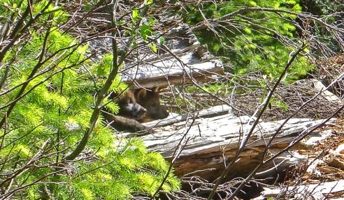 OR7-pups-in-log.sm