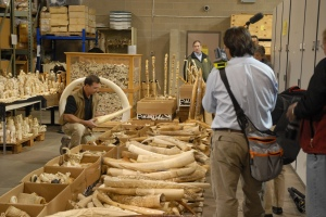 U.S. Fisheries and Wildlife officials prepare to crush six tons of confiscated ivory in 2013. Some critics say destroying ivory does more harm than good by driving up black market prices. (Credit: USFWS Mountain-Prairie)