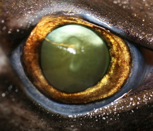 Eye of a velvet-belly lantern shark. The eyes of some species of bioluminescent sharks have more rods than their non-light producing counterparts, allowing them to see complex light patterns in the deep dark sea (Credit: J. Mallafet, FNRS/UCL) .