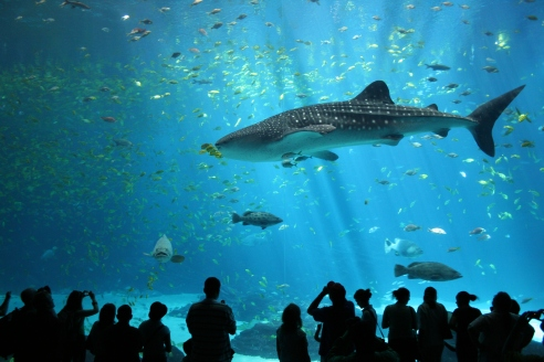 Georgia Aquarium visitors marvel at a male whale shark. Researchers recently discovered that there are two genetically distinct populations of whale sharks instead of one global meta-population. (Credit: Zac Wolf, Wikimedia Commons)