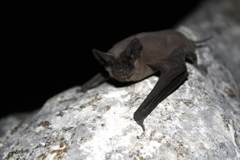 Mexican Free-Tailed Bat_(USFWS_Ann Froschauer)