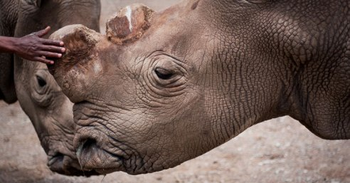 Suni, one of two remaining male northern white rhinos of breeding age. (Credit: Ol Pejeta Conservancy)