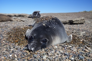 An elephant seal pup rests along the coast of Patagonia, Argentina. (Credit: Keith Ellenbogen)
