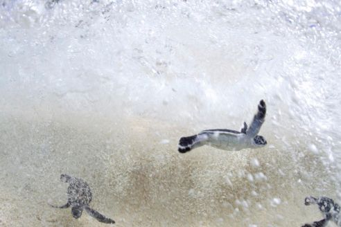After hatching on the beach, a nest full of endangered Green Sea Turtles immediately race into the sea. (Credit © Keith Ellenbogen)